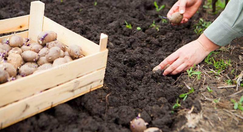 Посадка картофеля перед началом зимы: преимущества, недостатки и подводные камни процесса