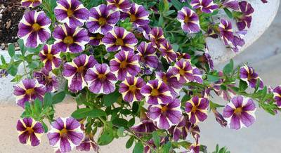 лучшие ампельные растения