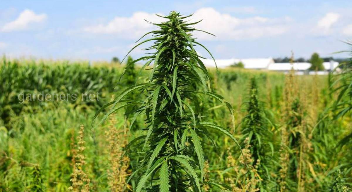 Конопля на волокно неврозы от марихуаны