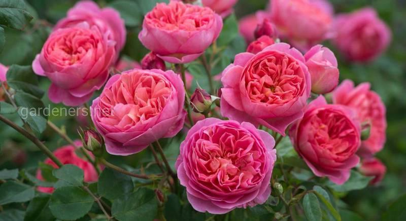 Популярні сорти ароматних троянд: опис, характеристики