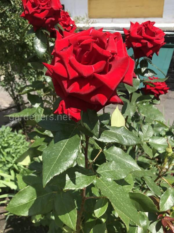 Когда и как обрезать розу?