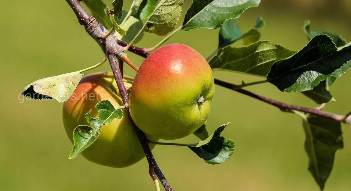 Плюсы карликовых сортов яблонь