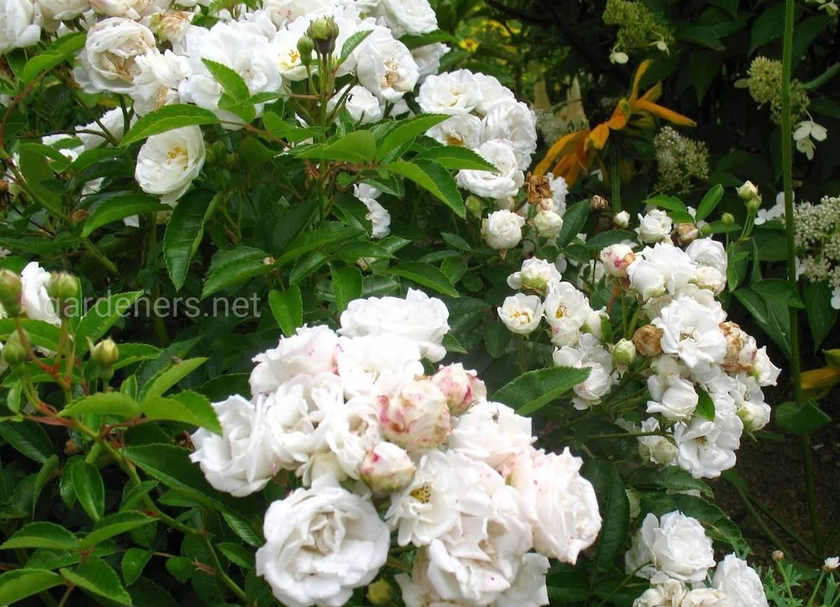 полиантовые розы в саду