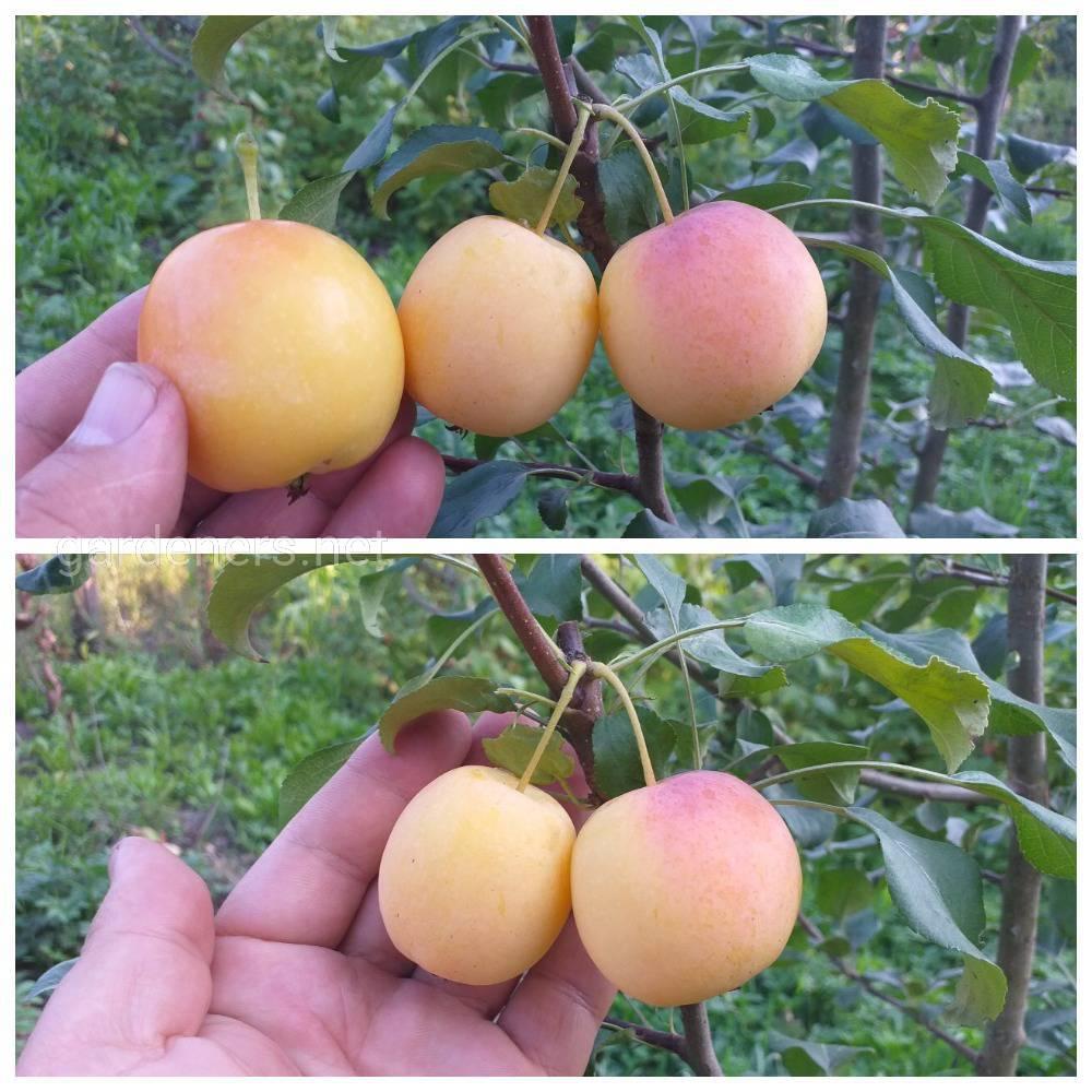 Яблоня райская «Трейлейман»