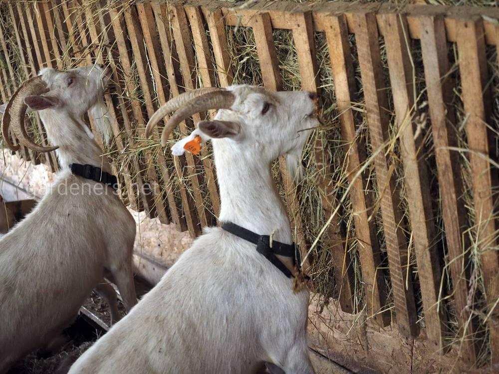 Виды кормушек для коз
