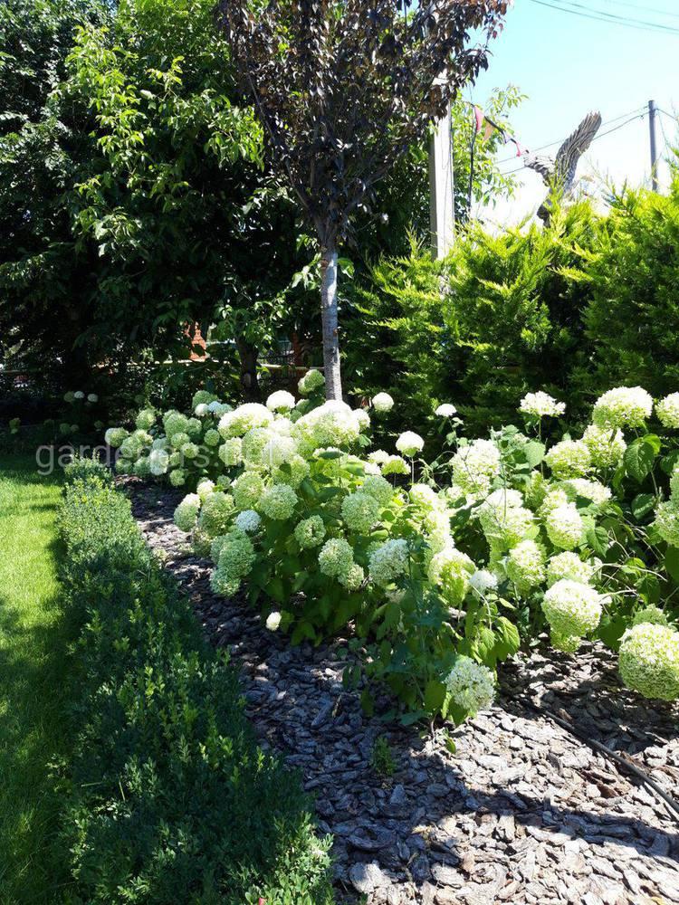 Белая Гортензия - нежная красавица в саду