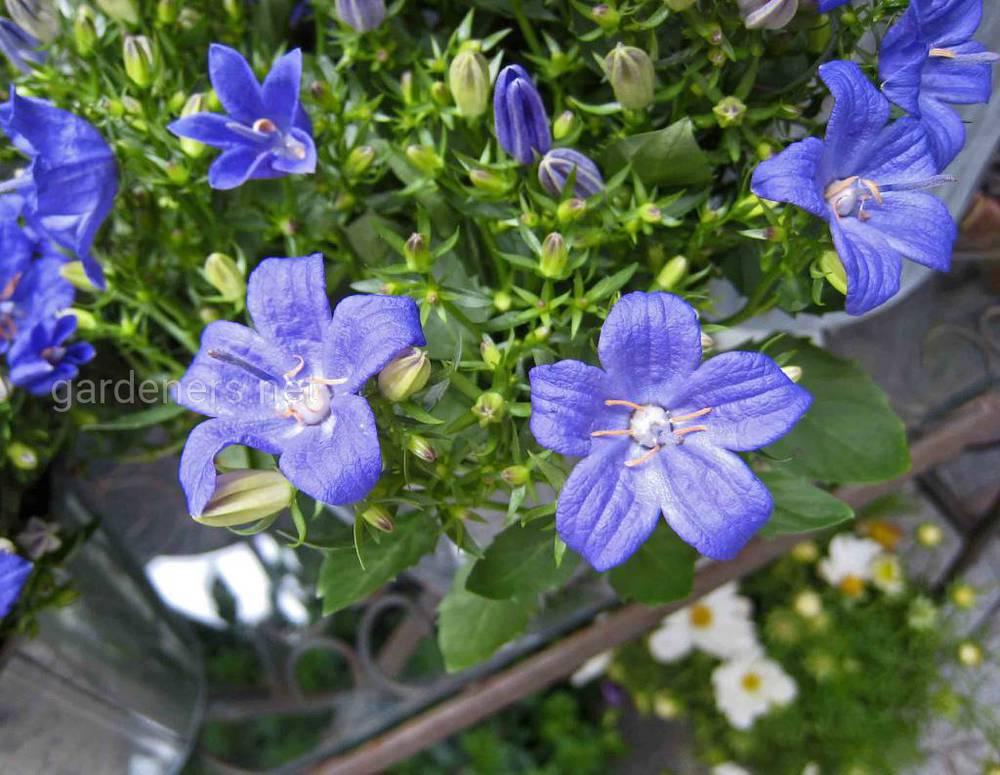 Campanula isophylla