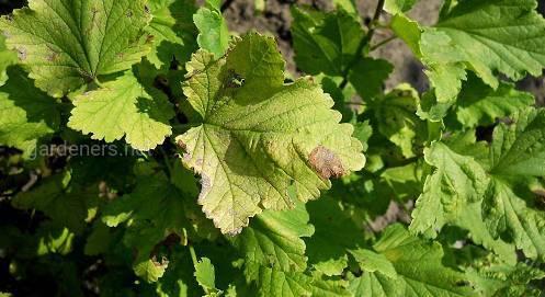 Що робити - плями на листках смородини