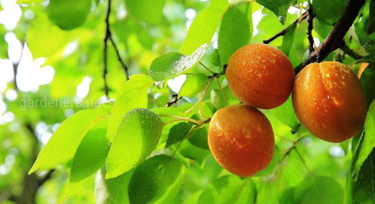 абрикос в московской области выращивание