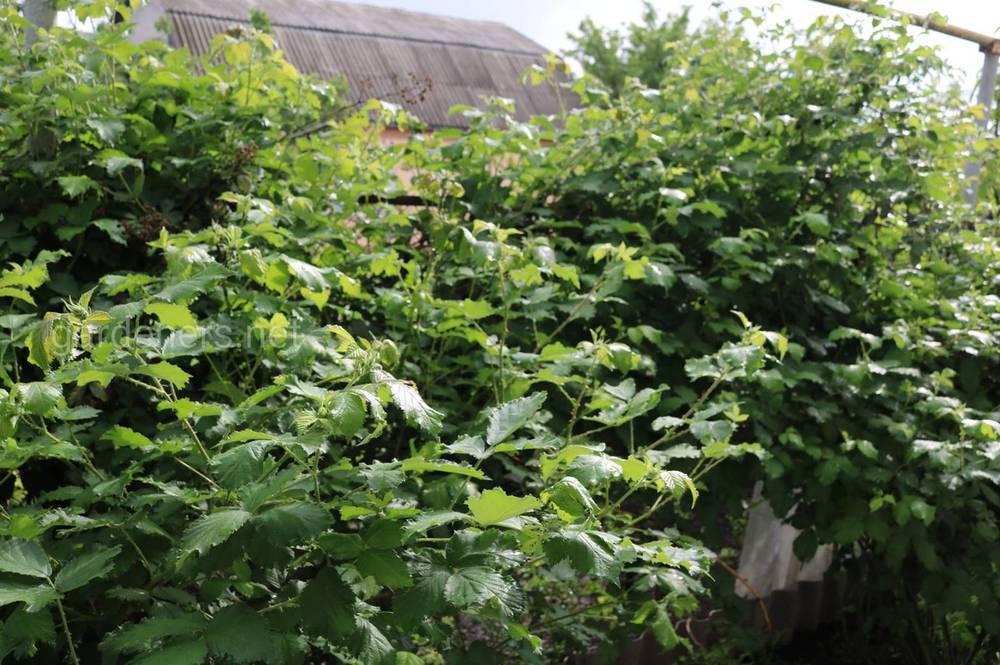 Какие ягоды посадить на новом участке, чтобы получить урожай сразу?