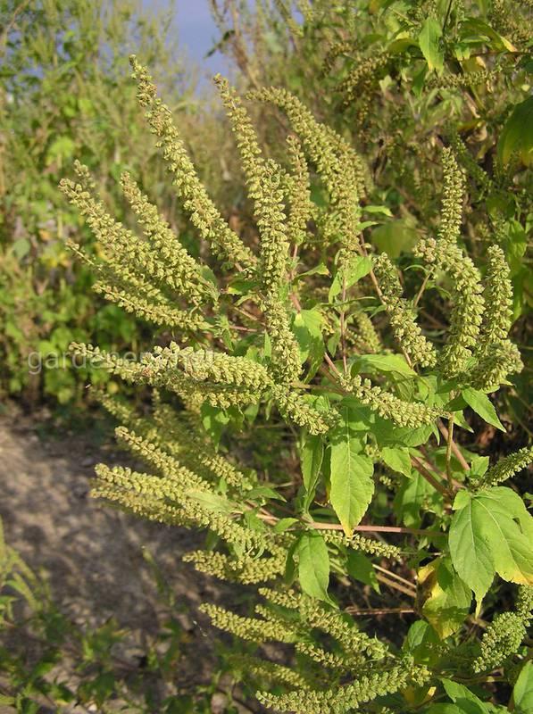 Амброзия не только сорняк, аллерген, но и лекарственное средство!