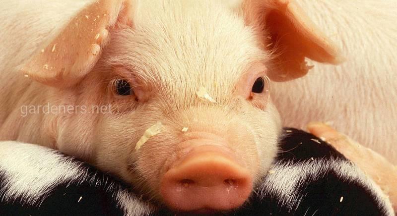 свинка - символ года.jpg