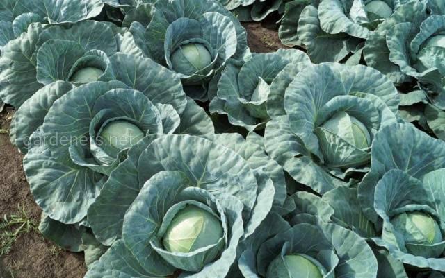 Хранение белокочанной капусты в полиэтиленовых пакетах