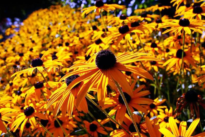 Які існують види багаторічних рослин осіннього цвітіння?
