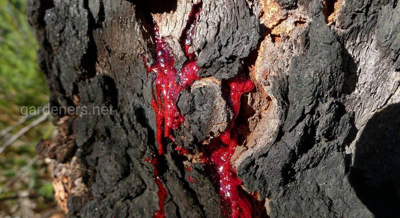 Кровь дракона или экстракт смолы дерева Кротона лехлера - сокровищница антиоксидантов