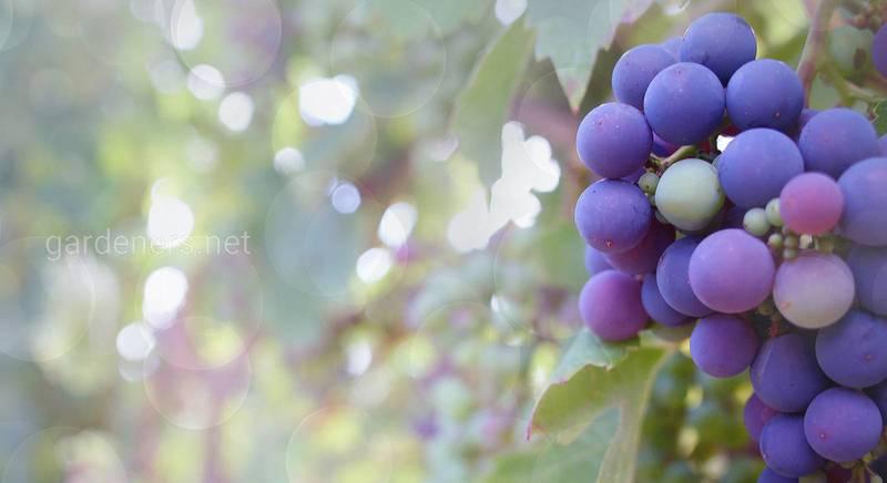 Основные работы с виноградом в августе