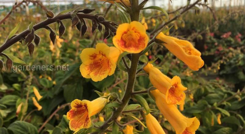 Рідкісна квітка тітанотріхум: як її вирощувати
