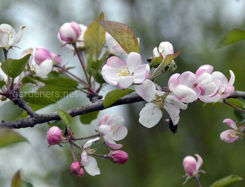 Первые вредители яблони и груши!