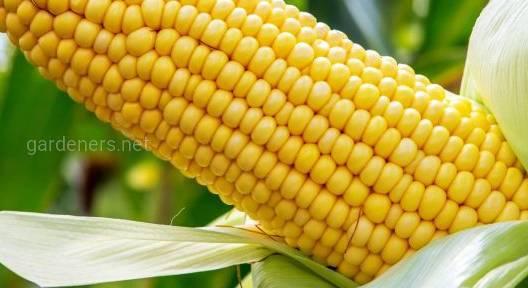 Семена кукурузы Зерноградская 282, Зерноградская 554.
