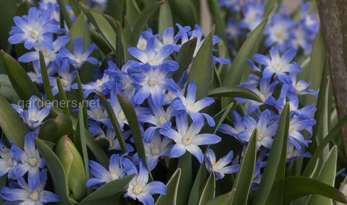 Сорт гиацинтоидеса «Голубой Гигант»