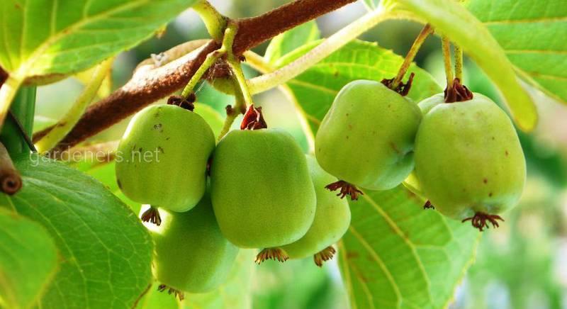 актинидия плоды.jpg