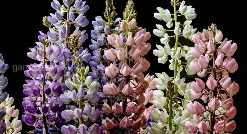Люпин: многочисленные виды и гибридные сорта шпилеобразного цветка