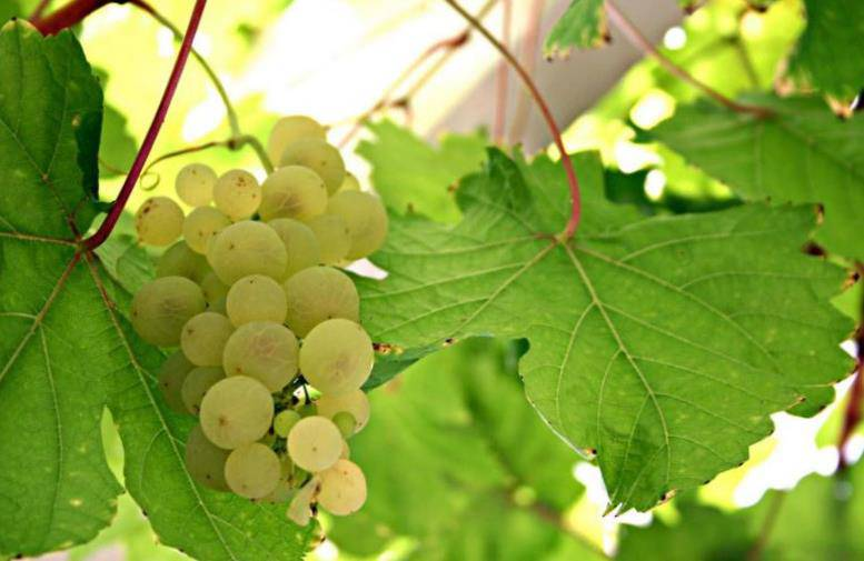 Виноград сорт Совиньон Блан