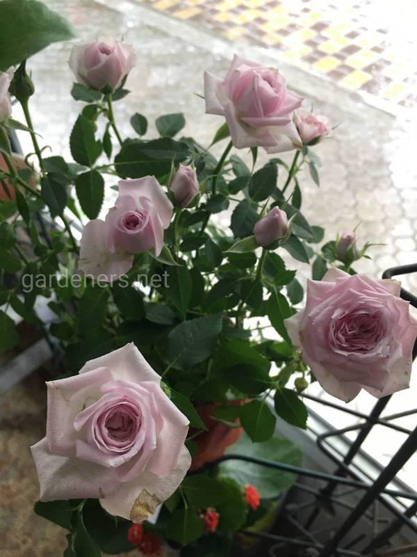 Как создать розовый сад на террасе?