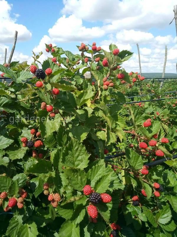 Какие растения могут быть съедобными изгородями и как их выращивать?