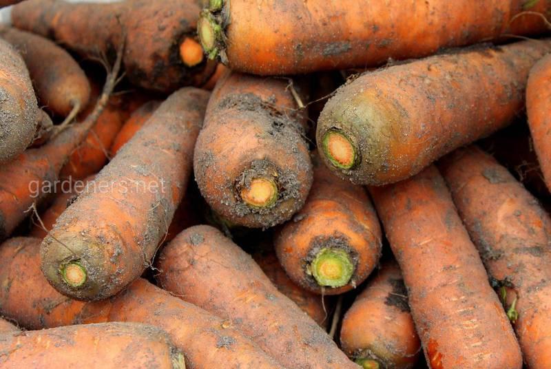 Хранение корнеплодов!Почему стоит отделить морковь от других овощей и фруктов?
