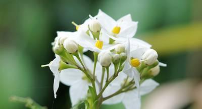 jasmine-flowered-nightshade-2369376_1920.jpg
