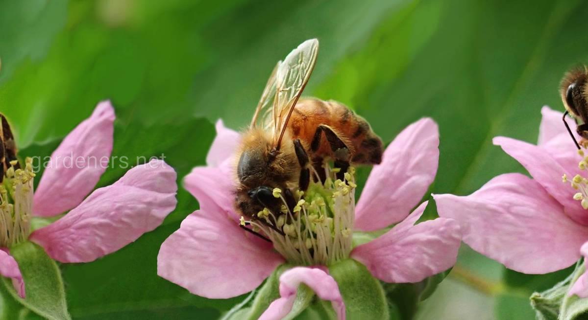 Племенная работа пчел