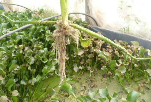 растение  эйхорнии вместе с корнем