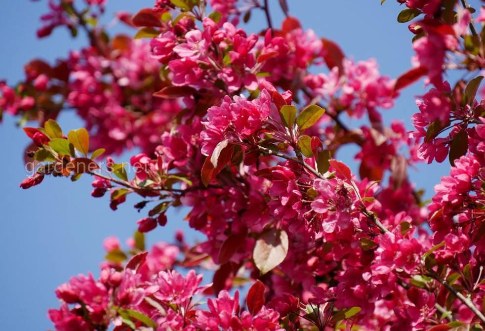Декоративная яблоня - красивое и полезное дерево