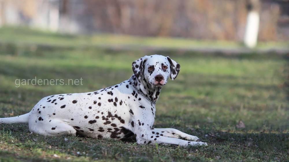 Белая черная далматинская собака