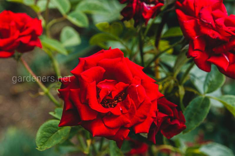 Як існують види троянд?