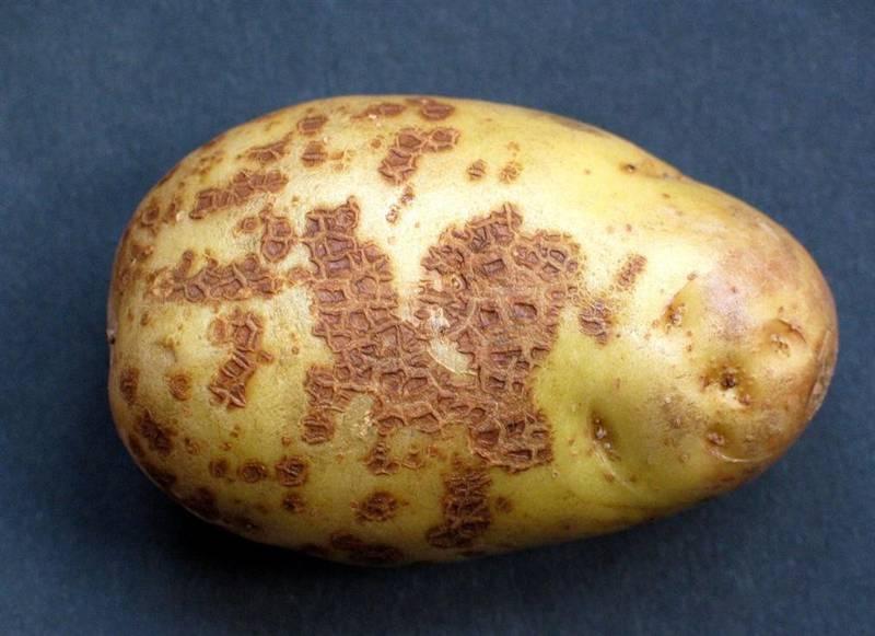 Какие причины возникновения парши картофеля? Виды парши