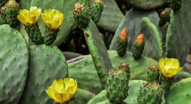 Популярные плоские кактусы