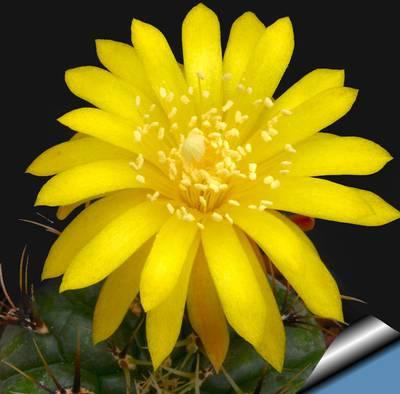 Матукана золотистоцветковая