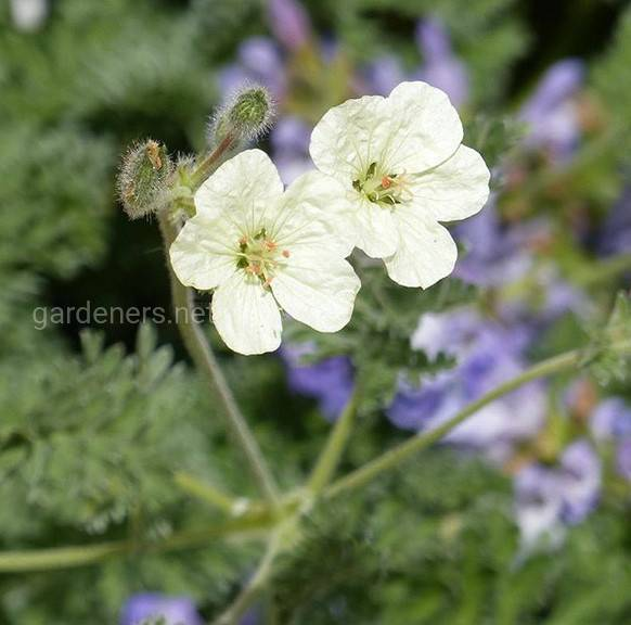 Erodium chrysanthum