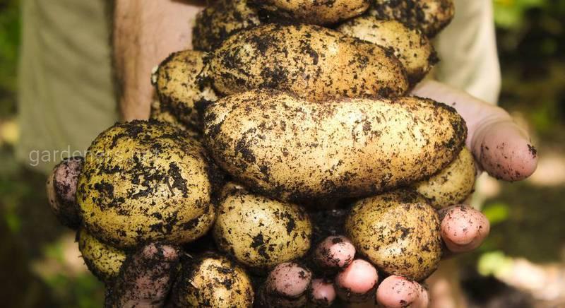 Основные правила сбора и хранения картофеля на зиму