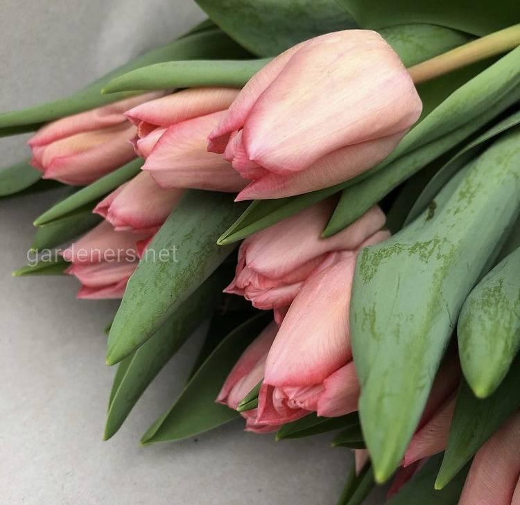 Як зберегти букет зрізаних тюльпанів якомога довше?