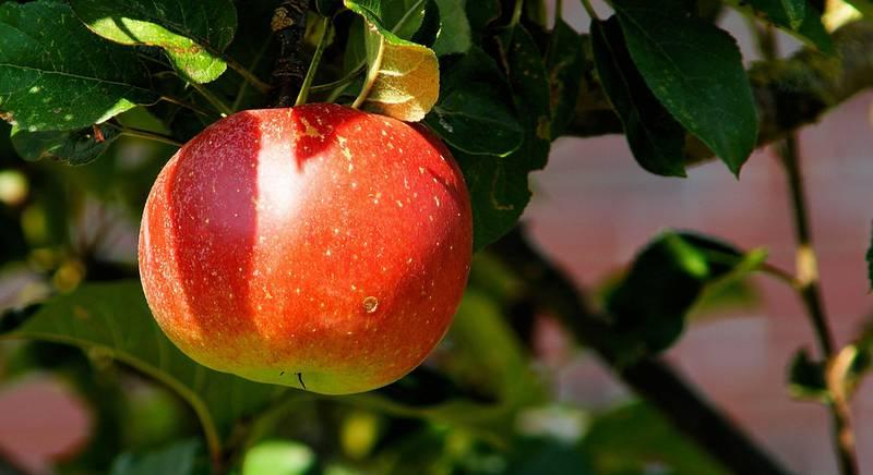 Догляд за яблунею восени, навесні і влітку. Збір врожаю яблук