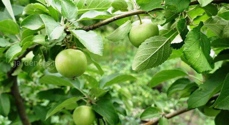 размножение яблони.JPG