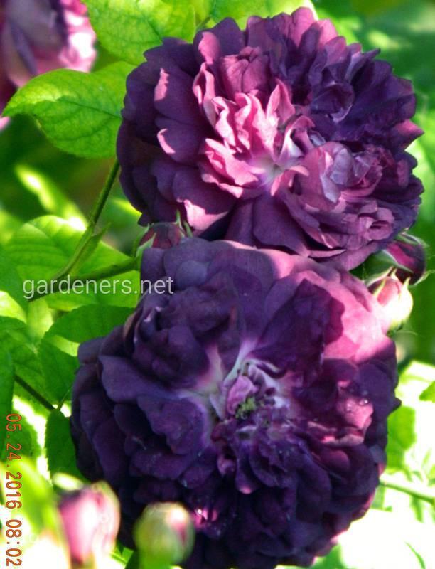Cardinal de Richelieu (Rose Van Sian), Parmentier, Бельгія, 1847,  група галльські троянди (Gallica/Provins)