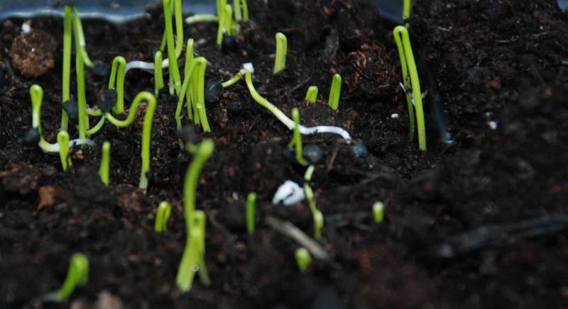 Секреты выращивания репчатого лука: выбираем между семенным и рассадным способами