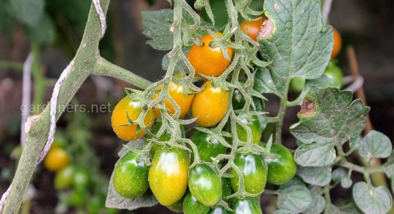 ТОП-10 распространенных ошибок при выращивании рассады томатов