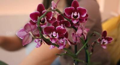 интернет-магазин орхидей