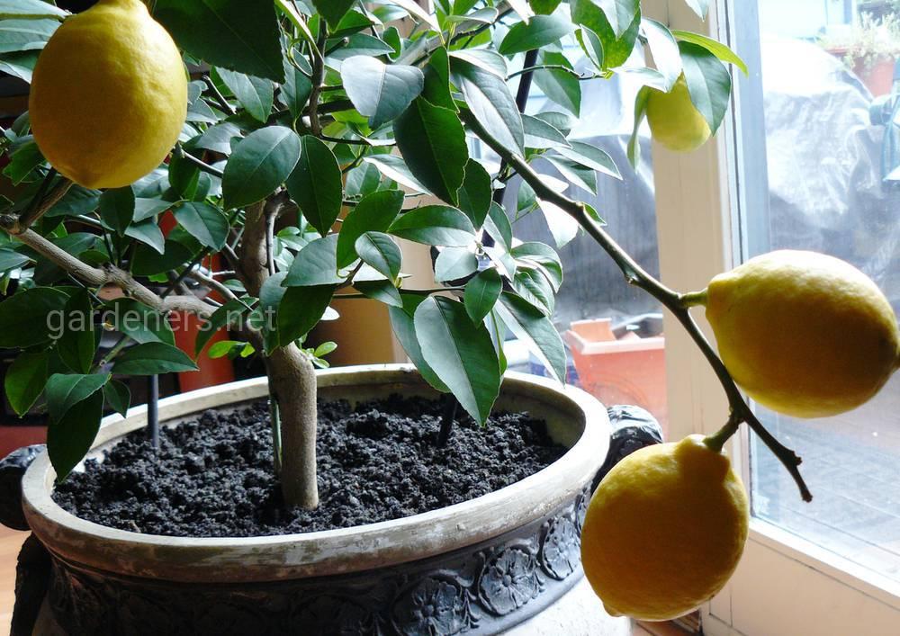 китайский лимон на подоконнике