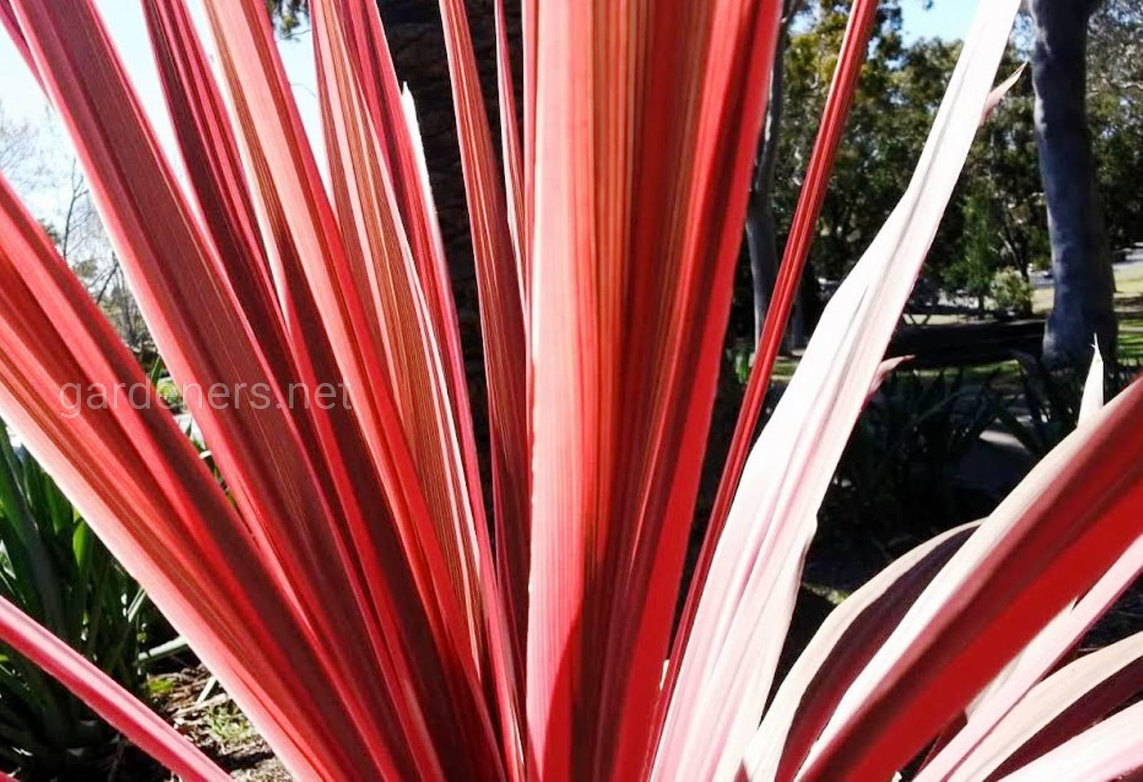 Cordyline australis purpurea.jpg
